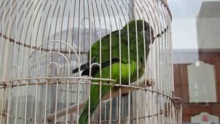 2017 03 07 和尚鸚鵡大綠聒噪的叫聲MVI 8141