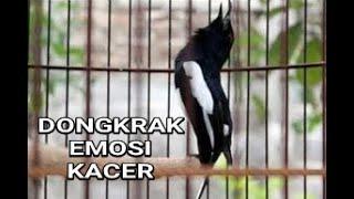 Dongkrak EMOSI Kacer, Jangan Kaget Kalau Jadi Gacor Ngamuk Bongkar Isian #Kacer