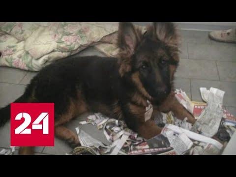 Кто и за что травит собак кинолога в Подмосковье - Россия 24