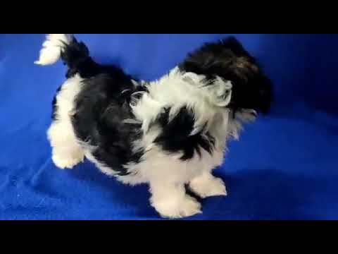 #SHIHTZU Very Outstanding Quality Shihtzu Puppies For Sale In Bangalore