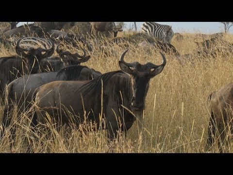 Wildebeest Migration Casualties Feed Serengeti Ecosystem