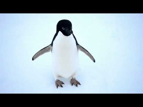 Real Penguins Talk About Climate Change, Plus: Killer Whales!