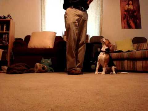 2 year old Beagle doing tricks