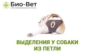 Выделения у собаки из петли. Ветеринарная клиника Био-Вет.