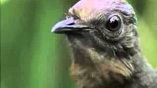 РЖАЧ НЕРЕАЛЬНЫЙ Птица Лира, которая имитирует все звуки которые когда либо слышала, вплоть до звук затвора фотокамеры, автомоб