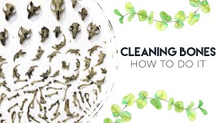 HOW TO CLEAN BONES & DISSECT OWL PELLETS