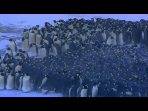 Emperor Penguins Huddle for Warmth | Nature on PBS