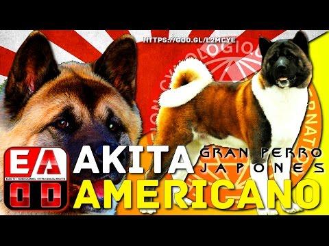 AKITA AMERICANO - Historia, aspecto general, cuidados y salud -  EADD CHANNEL