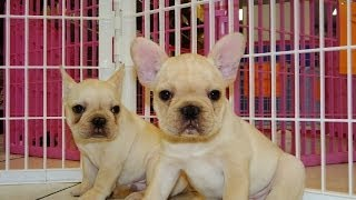 French Bulldog, Puppies, For, Sale, In, Southaven, Mississippi, County, Ms, Meridian, Biloxi, Hattie