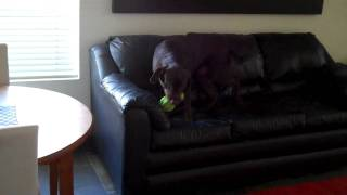 My Chocolate Lab With World's Most Annoying Toy