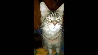 Надо видеть  Что вытворяют идеальные котята породы Мейн кун