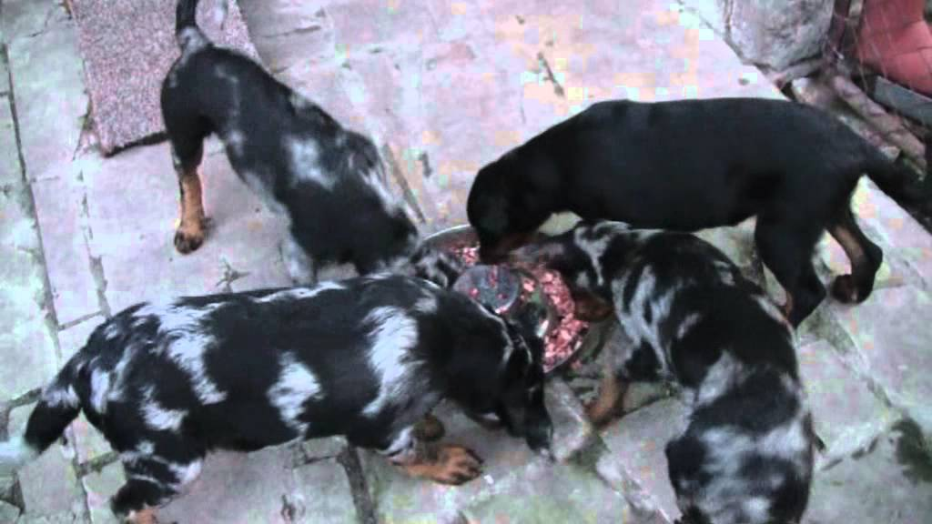 Beauceron Puppies 12 Weeks Youtube