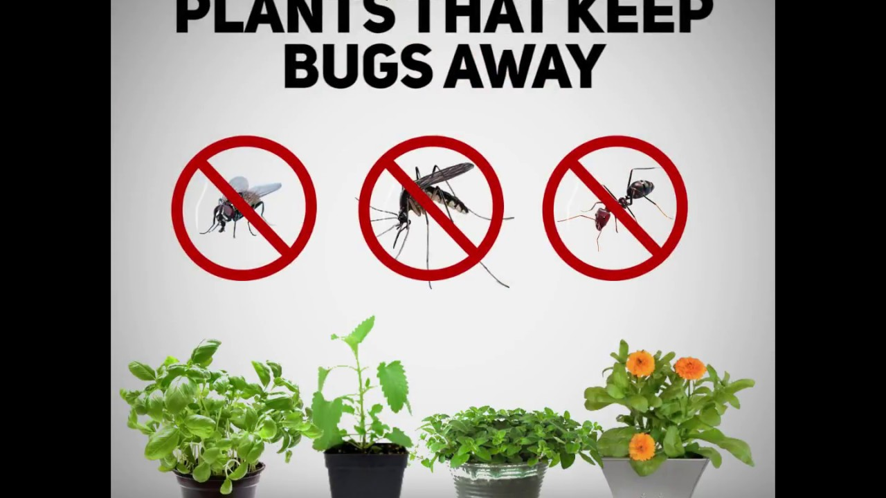 Plants That Keep Bugs Away Earthly Mission