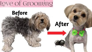 Grooming  Shaving a Matted Yorkie Mix  Morkie Yorkie Maltese Mix