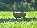 Roedeer hunt in Germany