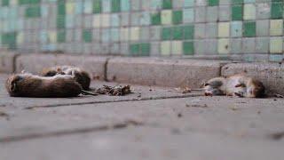Bizar: overal dode muizen op fietspad in Friesland - RTL NIEUWS