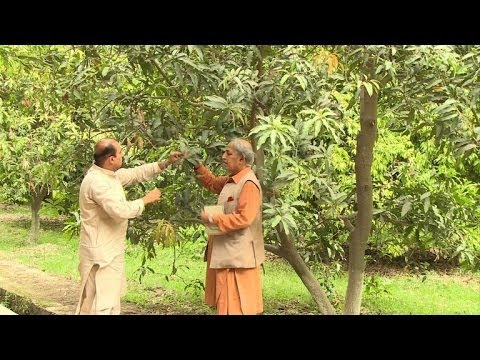 Pakistani mango growers slice in to India market