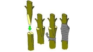Kỹ thuật ghép bơ cơ bản chi tiết | 2