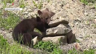 Двое медвежат на трассе «Нерюнгри — Алдан» остались без матери