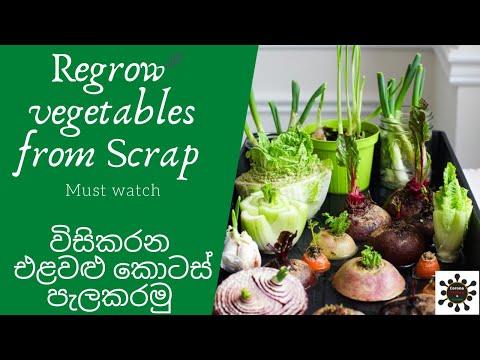 regrow-vegetables-from-scrap-විසිකරන-එළවළු-කැබලි-පැලකරමු-recycle-vegetable-scraps-by-gardening