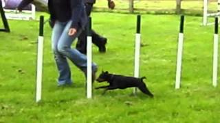 Min Pin Agility Dog Walk / Weaves