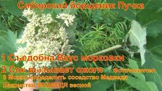 Сибирский борщевик Пучка лесное растение Съедобна Вкус морковки Сок вызывает ожоги
