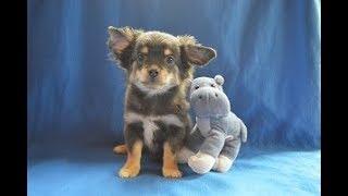 Купить щенка длинношерстного щенка чихуахуа