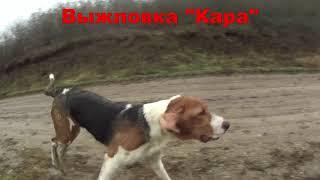 Фото Щенки гончей Нагонка в 7 месяцев Крымск