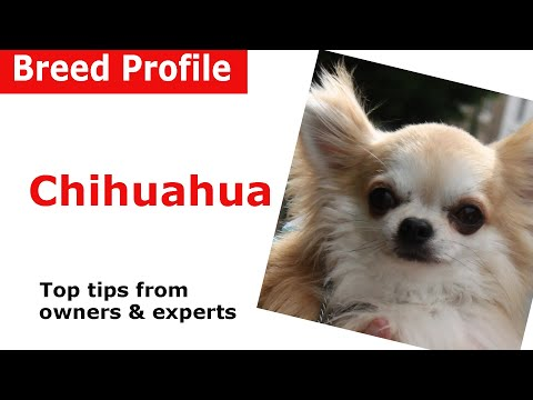 Chihuahua Dog Breed Advice
