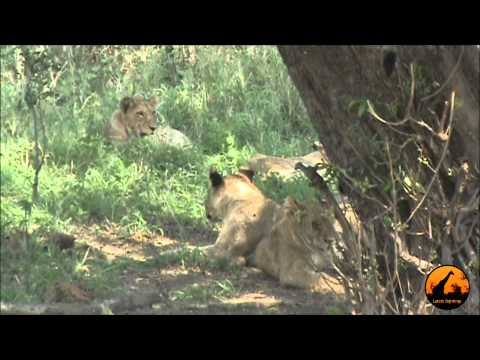 Lions (1 In Tree) Kumana Dam - 28th September 2012 - Latest Sightings