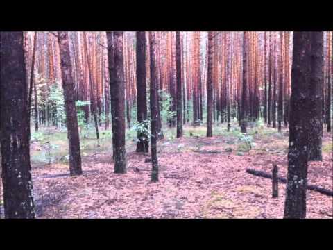 Сосновый  лес  в  подмосковье