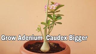 How to get Adenium Caudex Bigger, Grow Adenium Caudex Bigger in 3 month