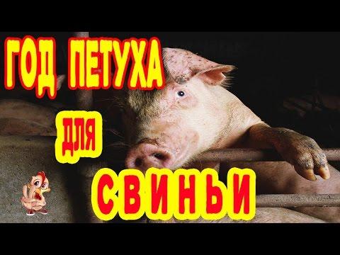 ГОД ПЕТУХА ДЛЯ СВИНЬИ. ГОРОСКОП 2017 СВИНЬЯ