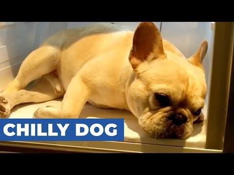 FrenchBulldogSitsInFridgeToCoolDown v1 YT