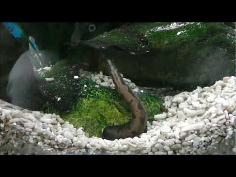 Tire Track eel - One Years Old (HD)