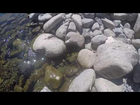 Toxic algae mats floating on the Hutt River - 28 November 2017
