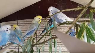 """♫ Учим попугая по имени Гера говорить, видеоурок 1: """"Гера хороший мальчик"""""""