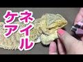 フトアゴヒゲトカゲ☆おちょこさんのネイルケア の動画、YouTube動画。