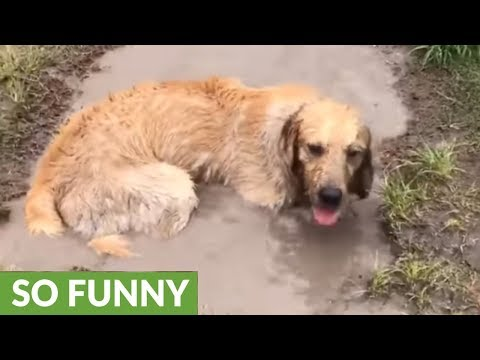 Golden Retriever fully bathes in mud puddle