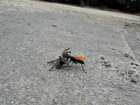 Tarantula hawk (Pepsis / Hemipepsis) wasp drags spider prey to den
