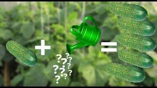 видео Правильном удобрении подкормке огурцов. Как правильно разное. KakPravilno-Sdelat.ru