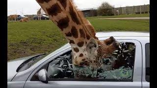 Жираф разбил стекло авто