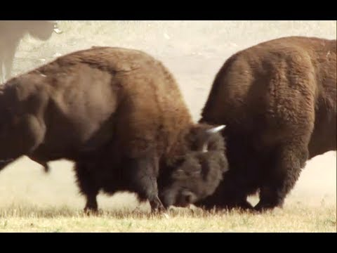 Bison Battle - Yellowstone - BBC