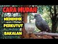 Kibagus Cara Mendidik Perkutut Bakalan Sampai Jadi Kalam Wadi  Mp3 - Mp4 Download
