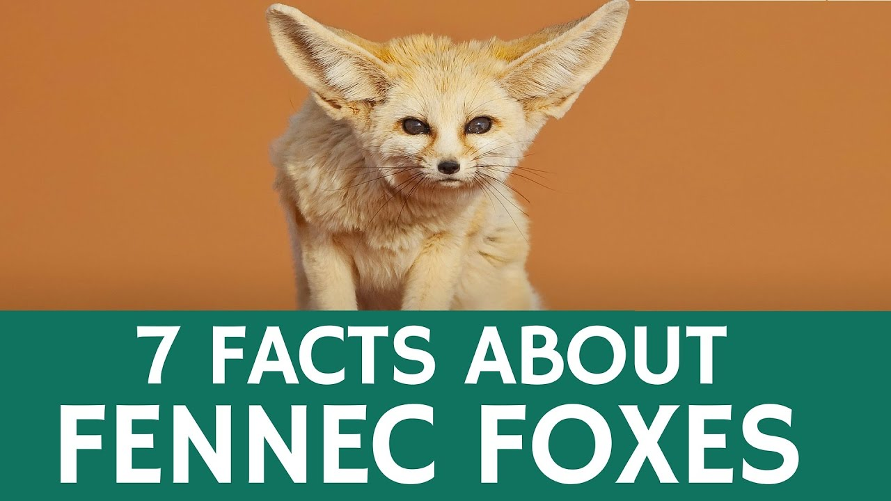 Fun facts about fennec foxes cute and exotic desert for Good facts about america