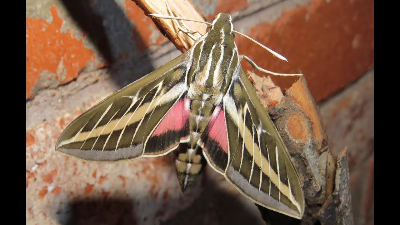 White Lined Sphinx Moth Youtube