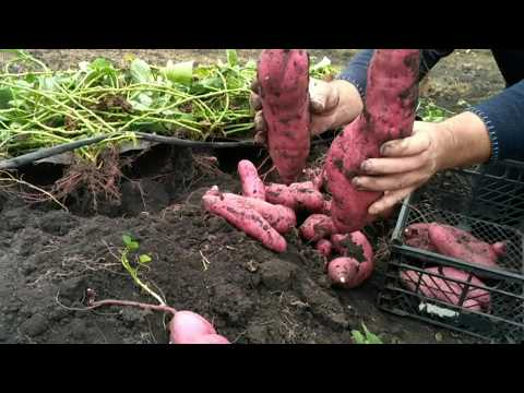 Батат ! Но не картофель ! Урожай 18 года !!