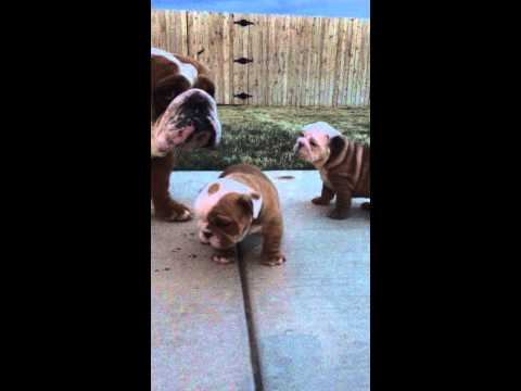 English Bulldog Bentley meeting his two sons for the first time!