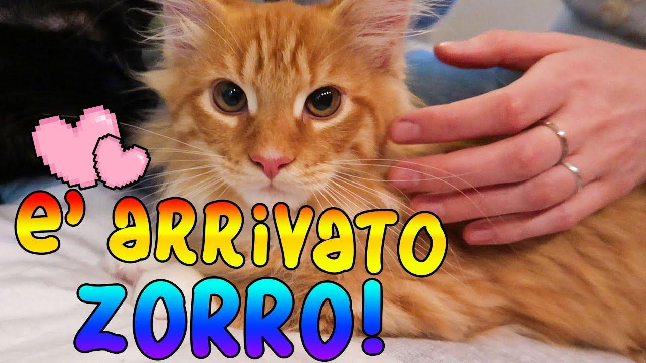 Benvenuto Zorro Larrivo Del Decimo Gatto E La Reazione Dei Suoi