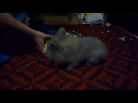 Кролик бегает вокруг себя и трахает игрушку / Rabbit running around yourself and fucking